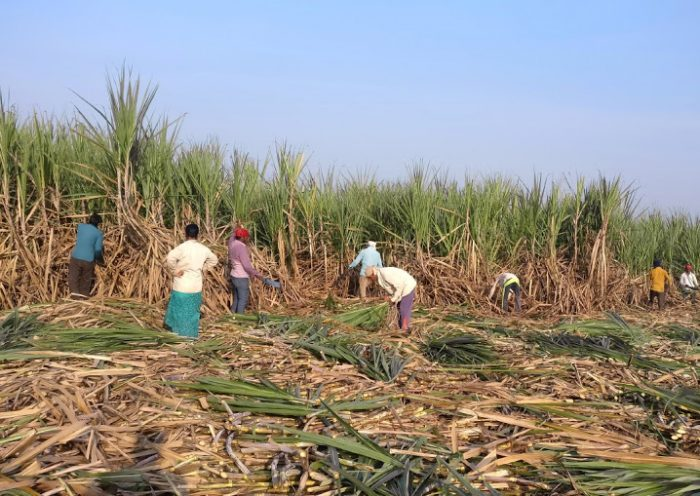 Indian money-losing sugar mills owe $4.38bn to cane growers