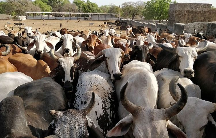 Now, coats for cows in Ayodhya