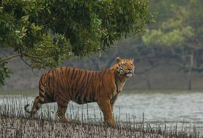The majestic Royal Bengal Tiger in the Sundarbans