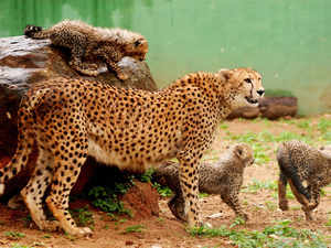 India prepared to bring back cheetah, protected areas restored: Wildlife experts